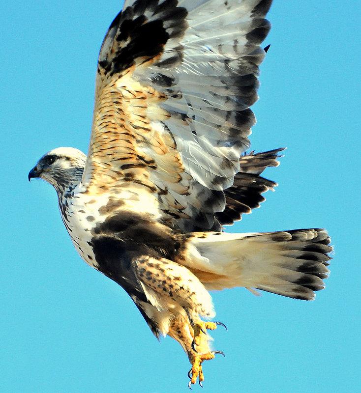 Hawk Rough-leged 002A.jpg