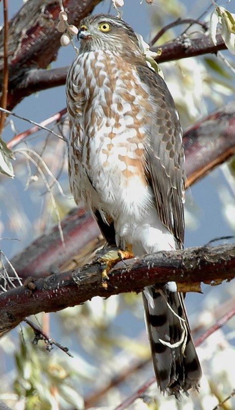 Hawk Sharp-shinned D-010.jpg