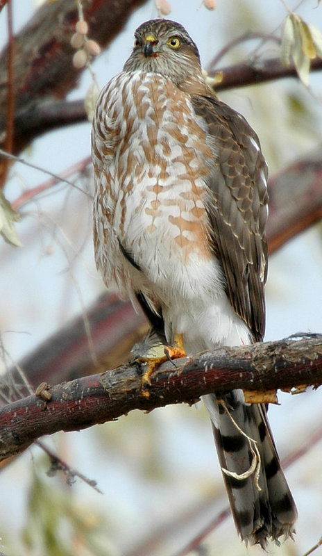 Hawk Sharp-shinnedD-006.jpg