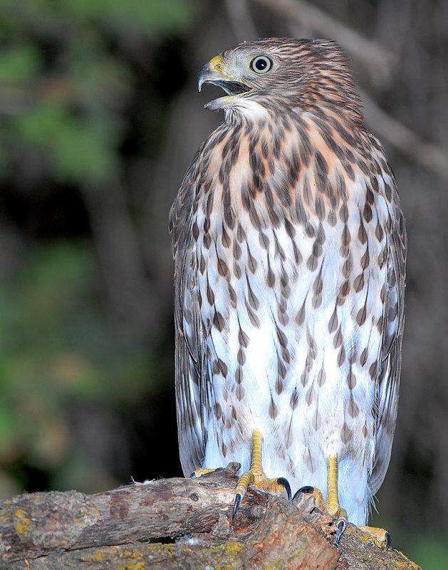Hawk Coopers D-023.jpg