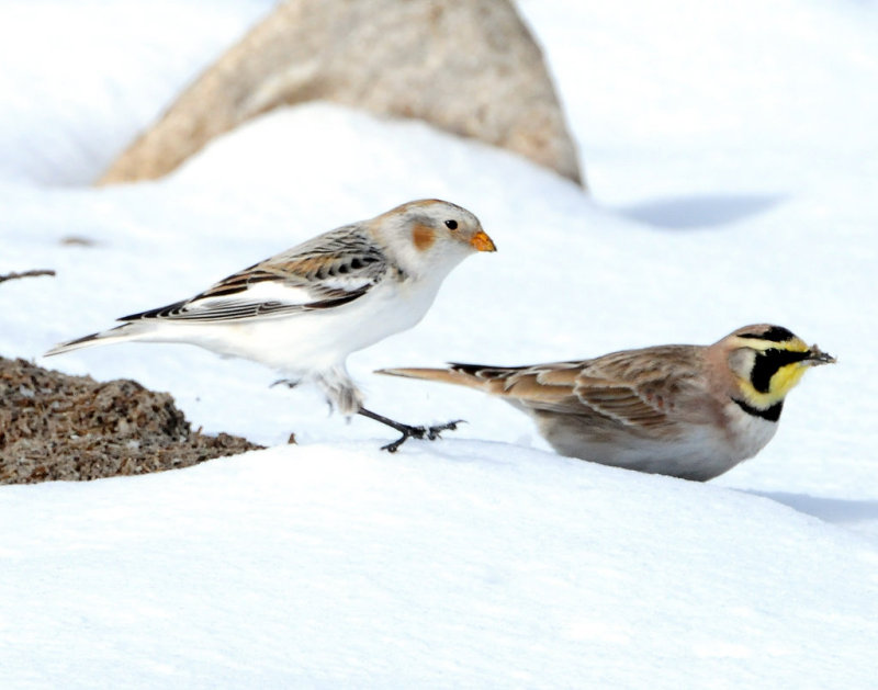 Snow Bunting and Horned Lark