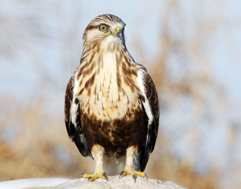 Hawk Rough-legged D-006.jpg