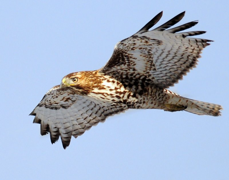 Hawk Red-tailed D-056.jpg