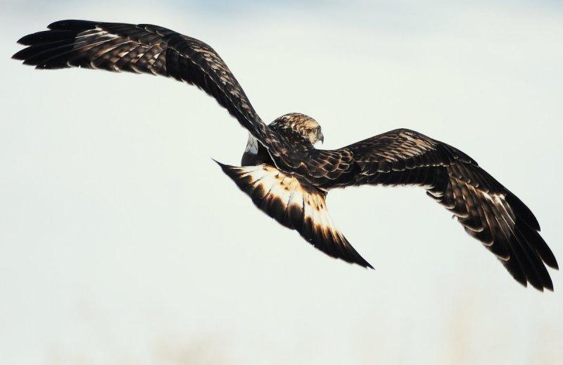 Hawk Rough-legged D-020.jpg