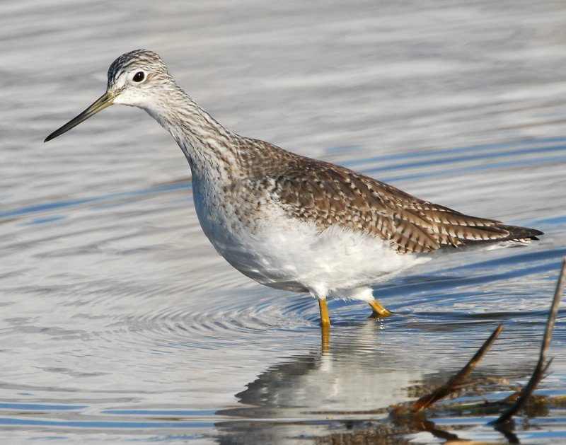Yellowlegs Greater D-004.jpg