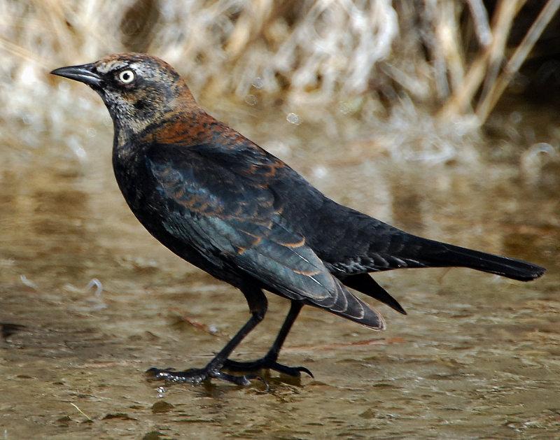 Blackbird Rusty D-003.jpg