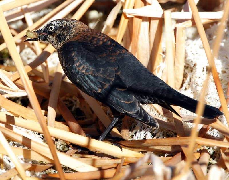 Blackbird Rusty D-007.jpg