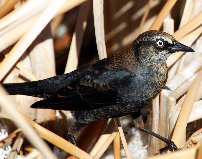 Blackbird Rusty D-008.jpg