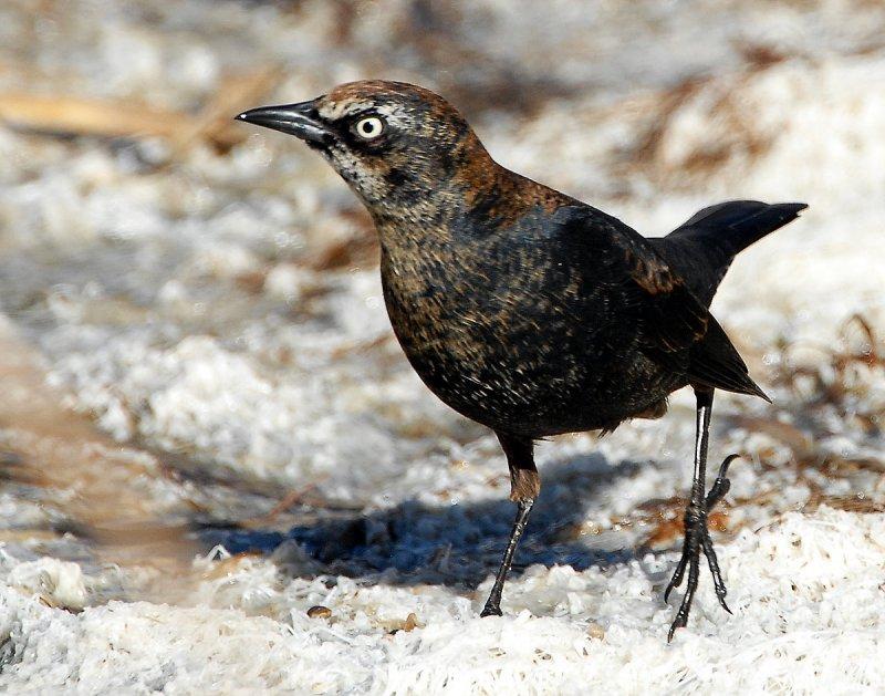 Blackbird Rusty D-013.jpg