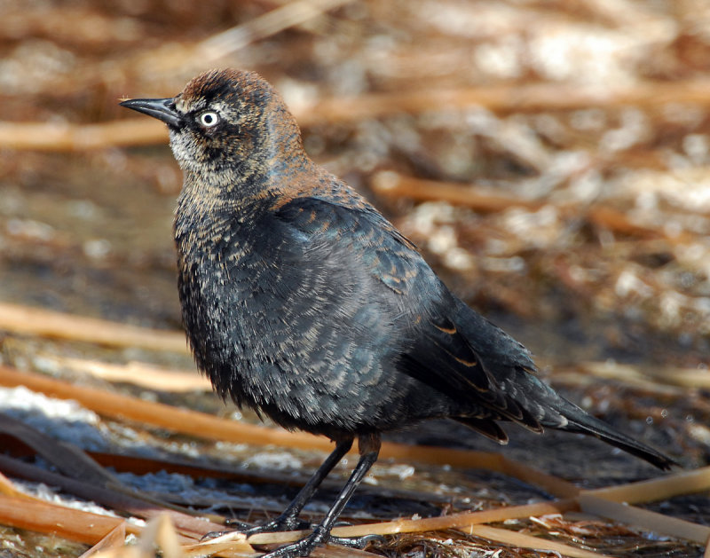 Blackbird Rusty D-015.jpg