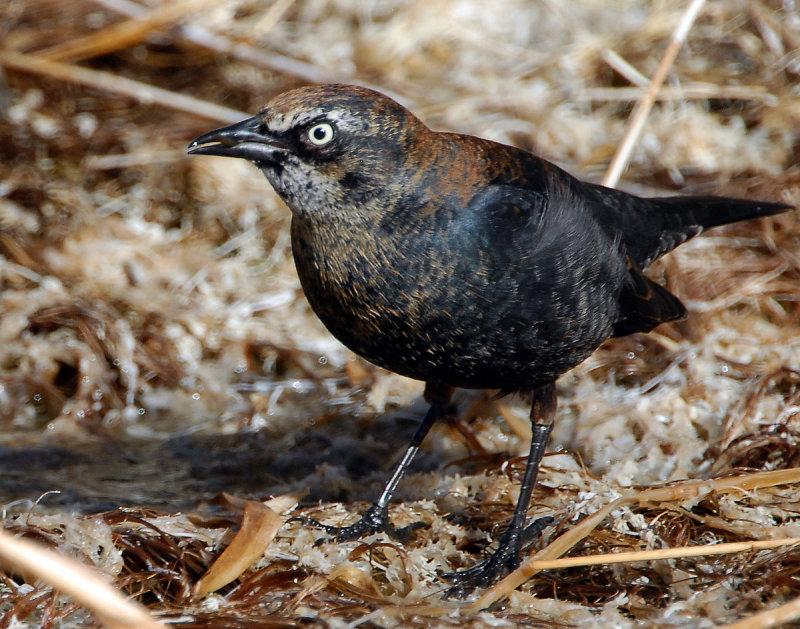 Blackbird Rusty D-037.jpg