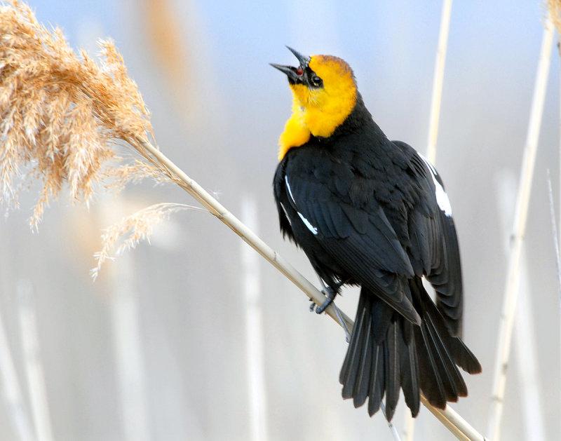 Blackbird Yellow-headedD-005.jpg