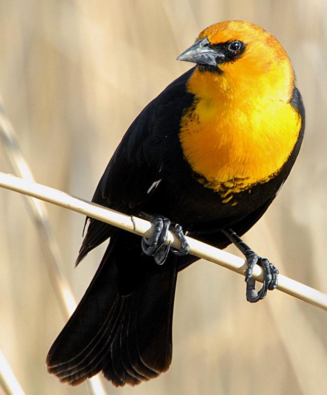 Blackbird Yellow-headedD-008.jpg
