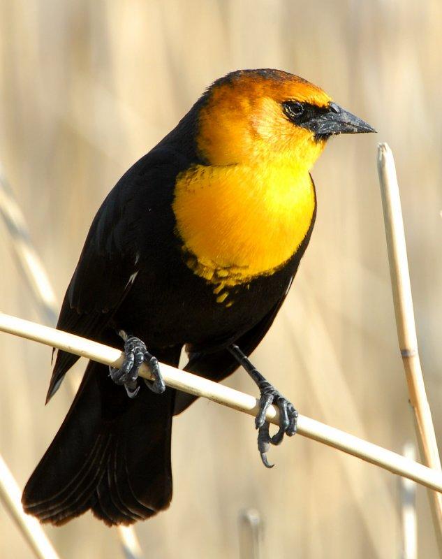 Blackbird Yellow-headedD-012.jpg
