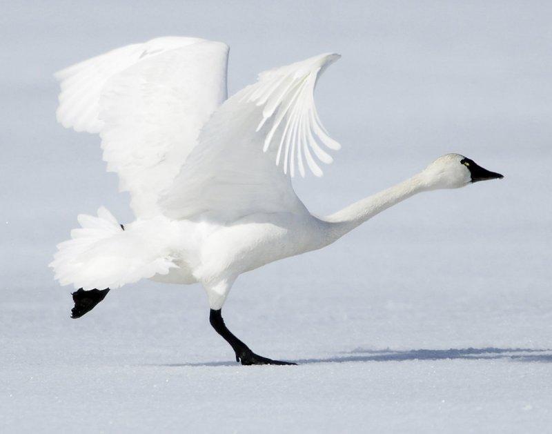 Swan  Tundra D-003.jpg