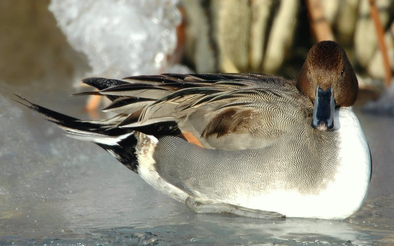 Pintail, Northern D-010.jpg