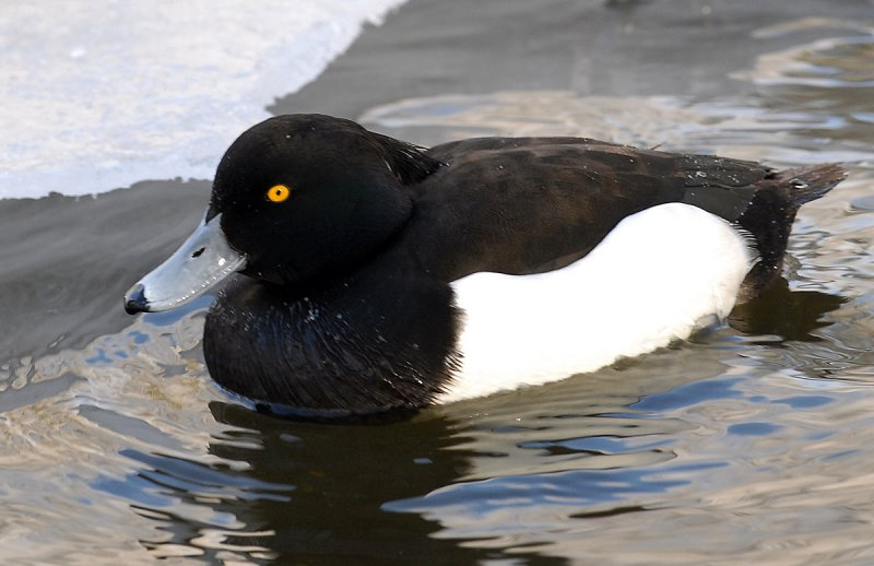 Duck, Tufted