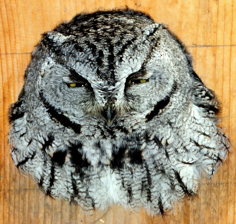 Owl Western screech D-050.jpg
