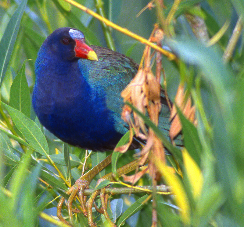 Gallinule Purple S-334B.jpg