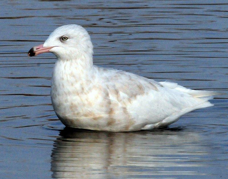 Gull  Glaucous D-010.jpg