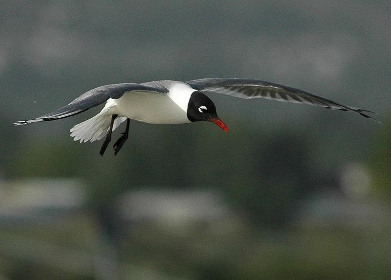 Gull FranklinsD-003.jpg