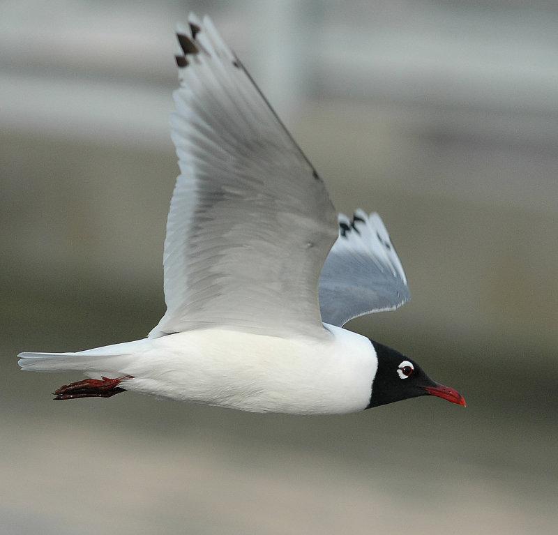 Gull FranklinsD-012.jpg
