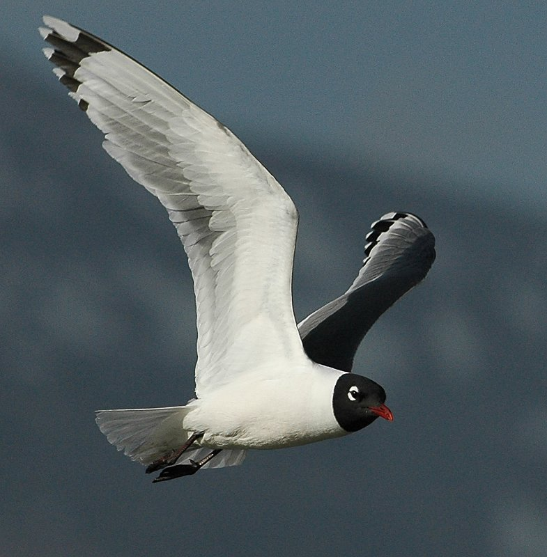 Gull FranklinsD-0013.jpg