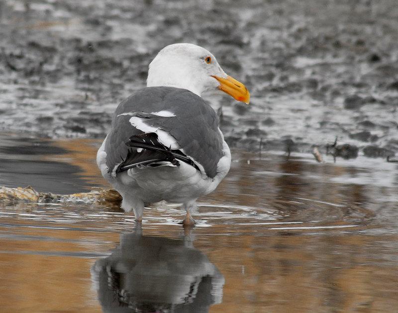 Gull Western D-004.jpg