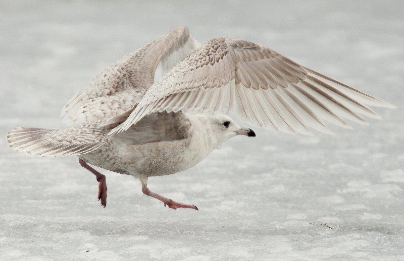 Gull Iceland D-027.jpg