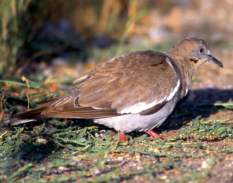Dove, White-winged