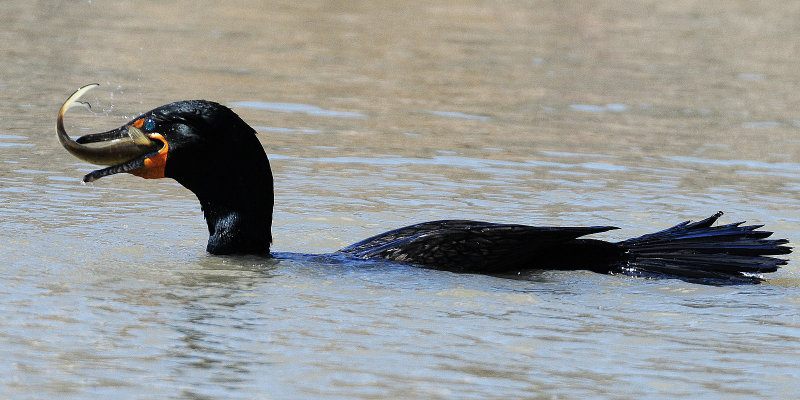 Cormorant Double-creasted