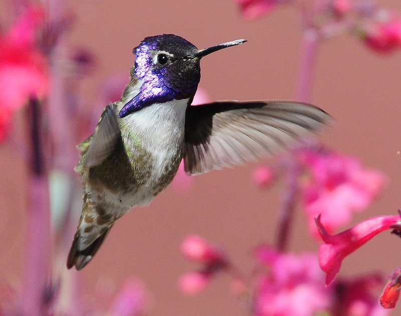 Hummingbird, Costas