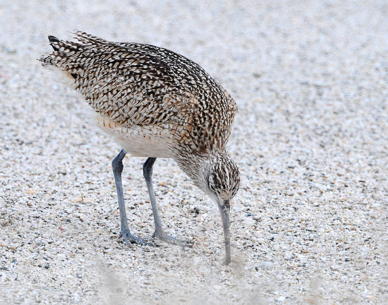 Curlew, Lomg-billed
