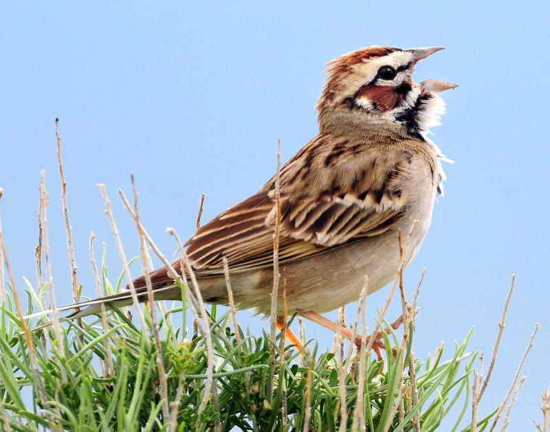Sparrow, Lark