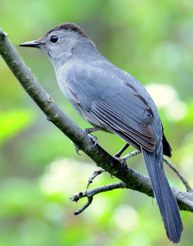Catbird, Gray
