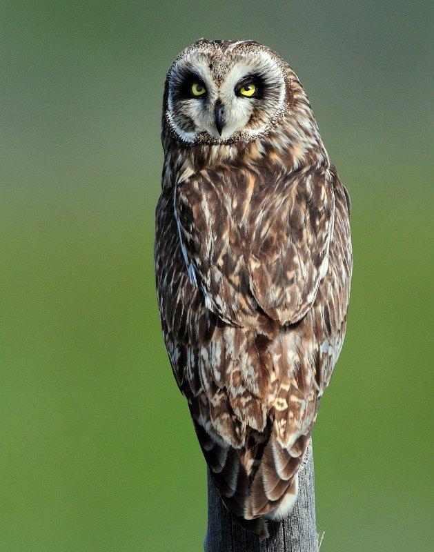 Owl Short-eared D-207.jpg