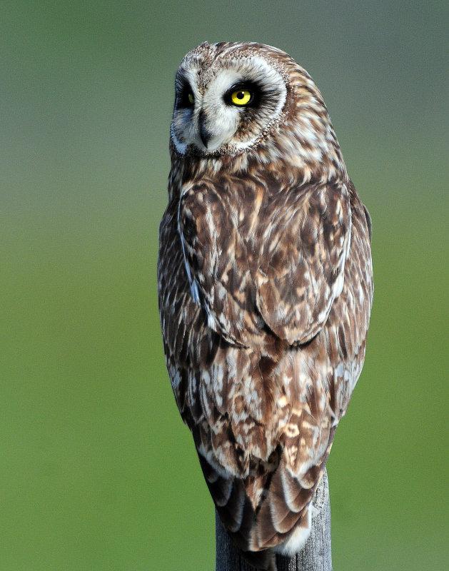 Owl Short-eared D-202.jpg