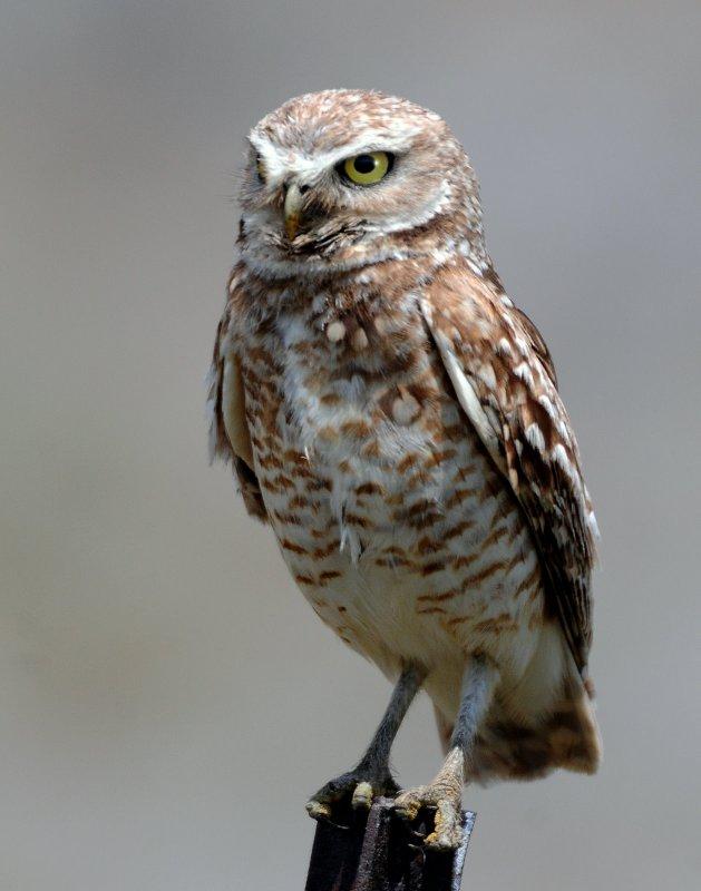 Owl Burrowing D-103.jpg
