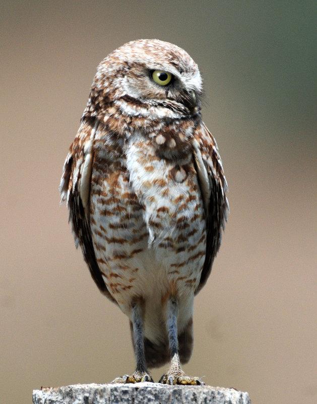 Owl Burrowing D-104.jpg