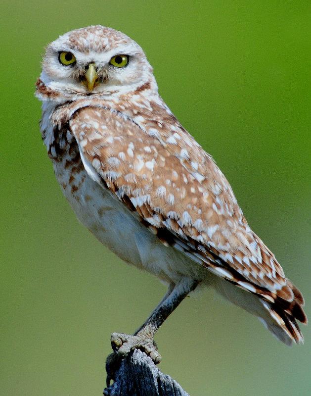 Owl Burrowing D-102.jpg