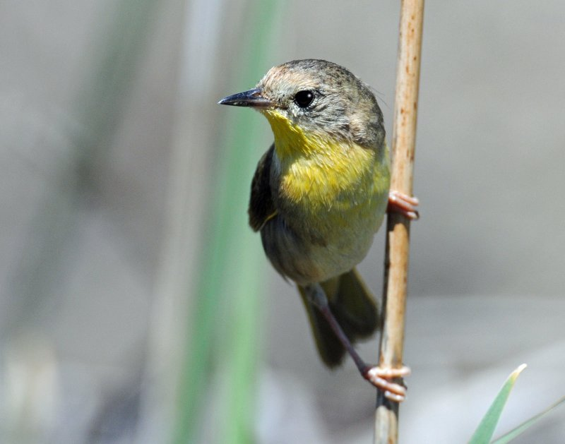 Yellowthroat, Common (Female)