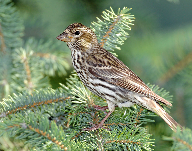 Finch, Cassins  (Female)