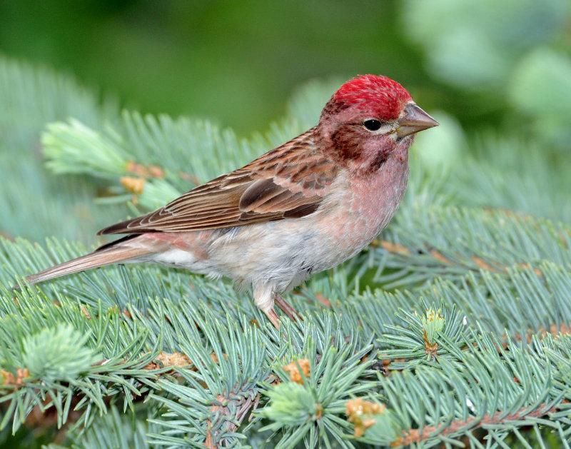 Finch, Cassins