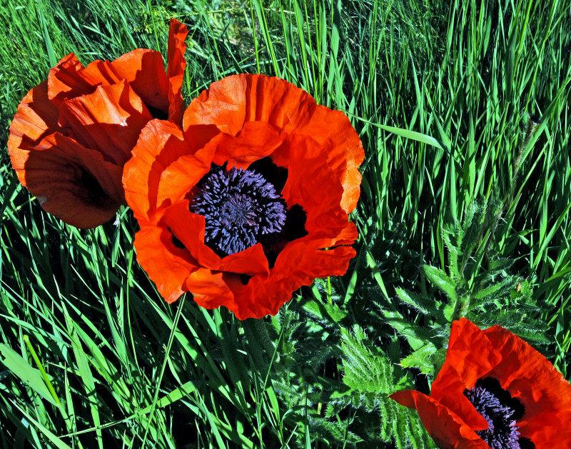 Mantua, Utah  Poppys