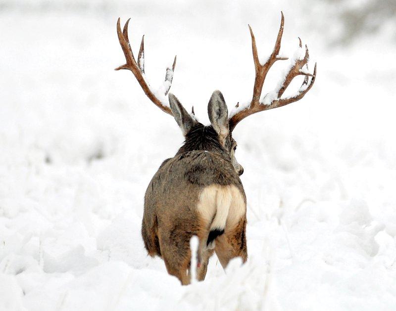 Deer, Mule