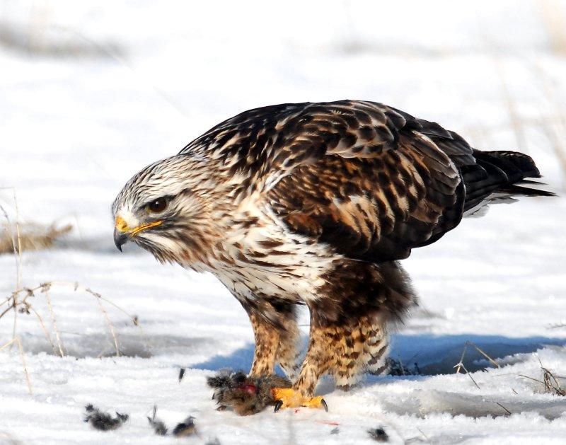 Hawk, Rough-legged