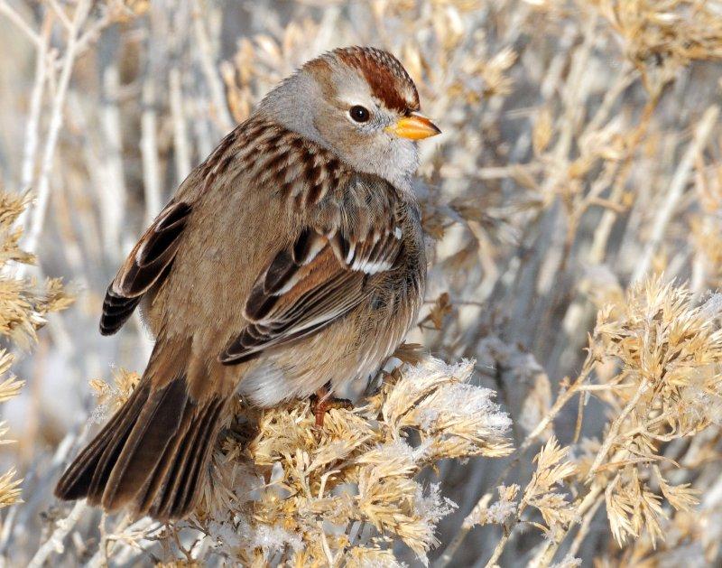Sparrow White-crownedD-052.jpg