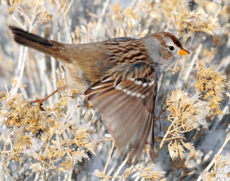 Sparrow White-crownedD-053.jpg