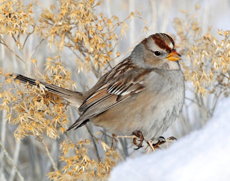 Sparrow White-crownedD-064.jpg