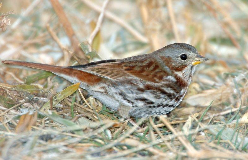Sparrow, Red Fox (Taiga)